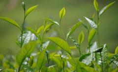 如何检测茶叶中的农药残留?